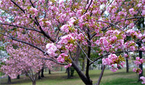 Cherry blossoms come from Japan too