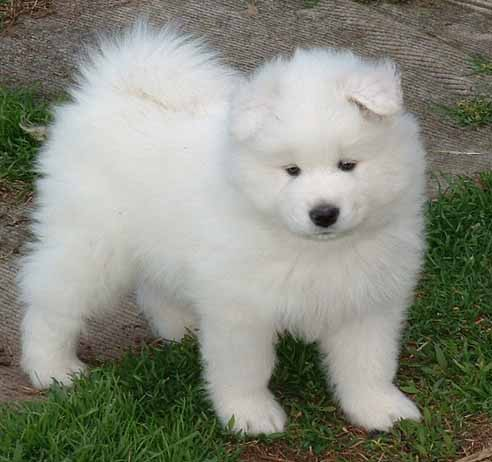 Just like this SAMOYED fix ought to hold you!