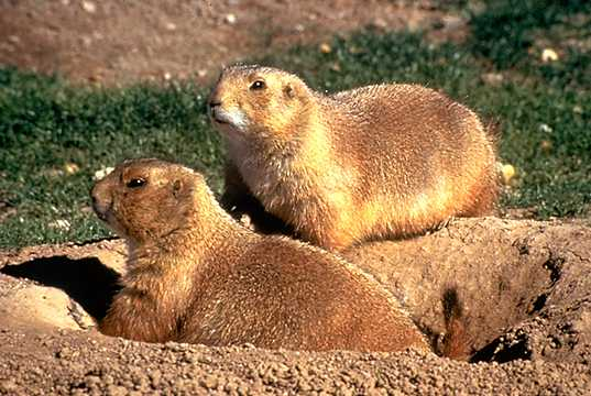 Which is the prairie dog and which is the gopher?