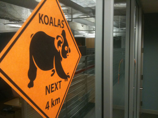 There may or may not be a live koala in the office today.