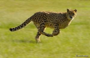 Fast, Faster, Cheetah...
