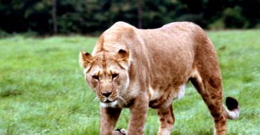 A lioness, stalking her prey